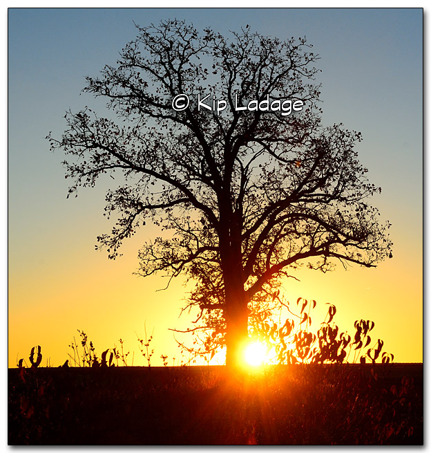 Oak Tree at Sunrise - Image 286680
