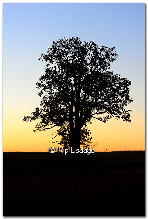 Oak Tree in Field at Sunrise - Image 286408