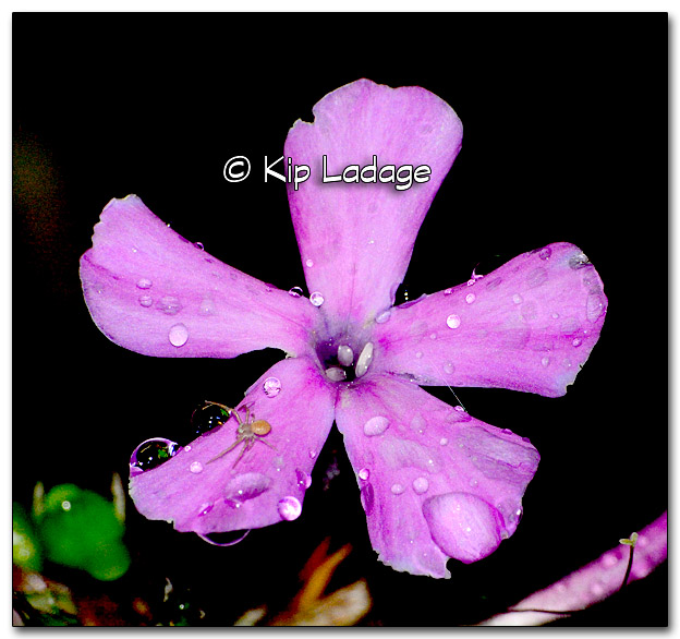 Raindrops on Phlox - Image 285153