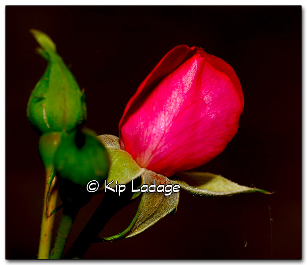 Red Rose Bud - Image 285615