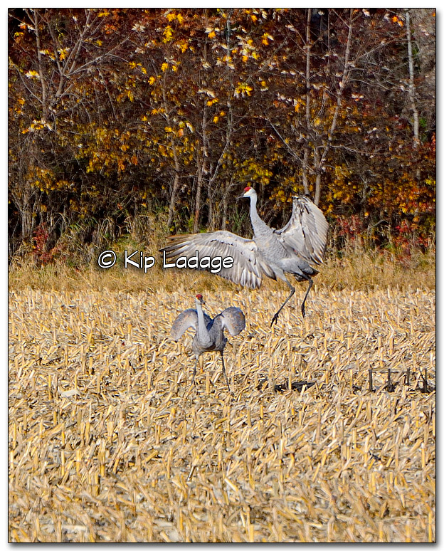 Sandhill Cranes Displaying - Image 286769