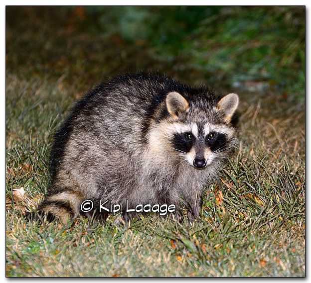 Small Raccoon at Night - Image 285753