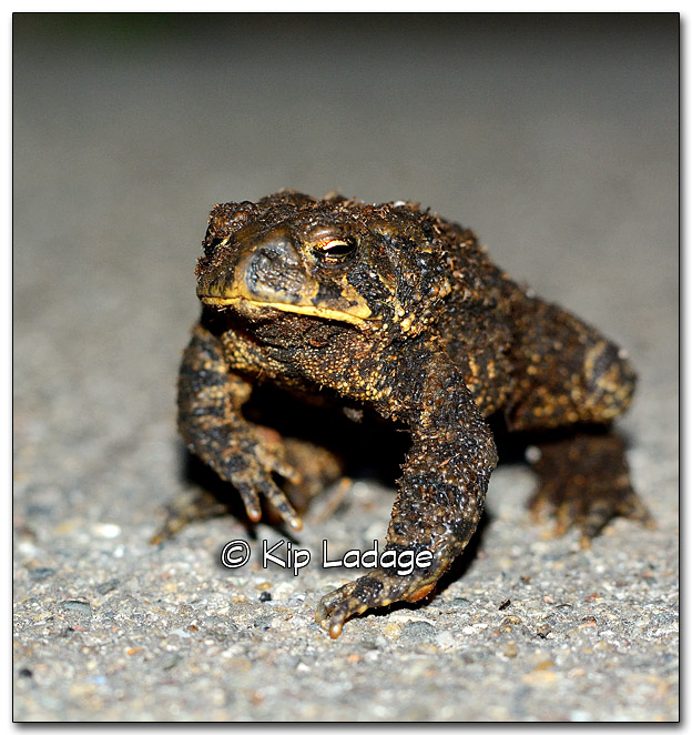 American Toad - Image 287707