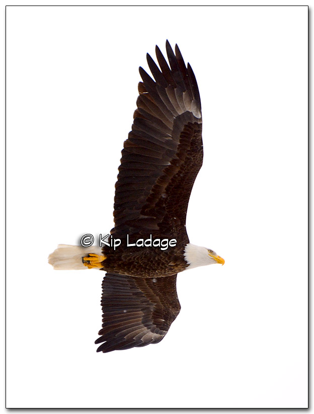 Bald Eagle - Image 288436