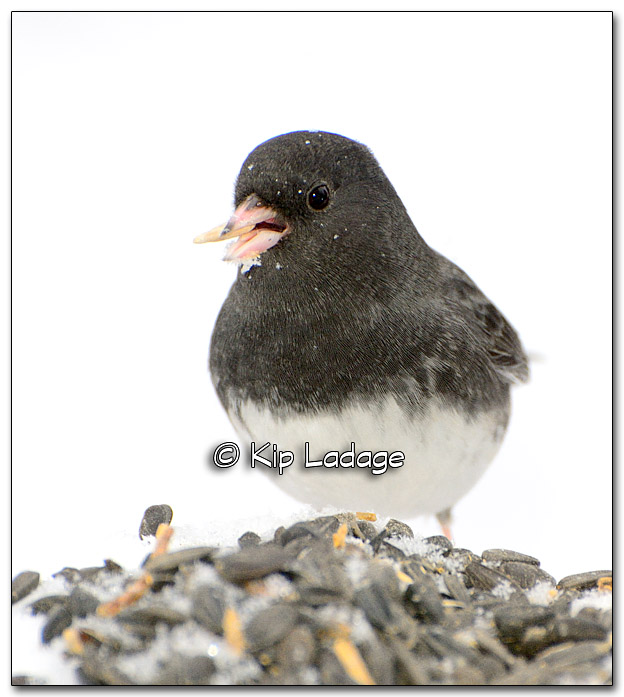 Dark-eyed Junco - Image 288192
