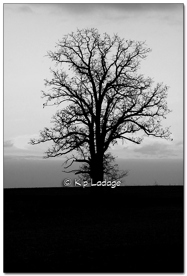 Oak Tree at Sunset bw - Image 287859