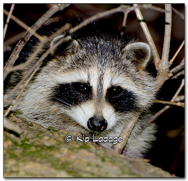 Raccoon at Night - Image 287266