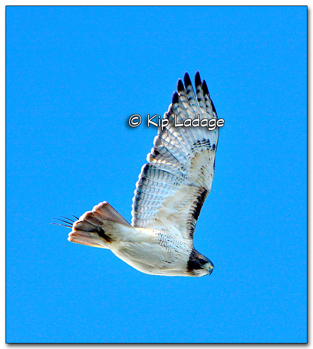 Red-tailed Hawk - Image 288467