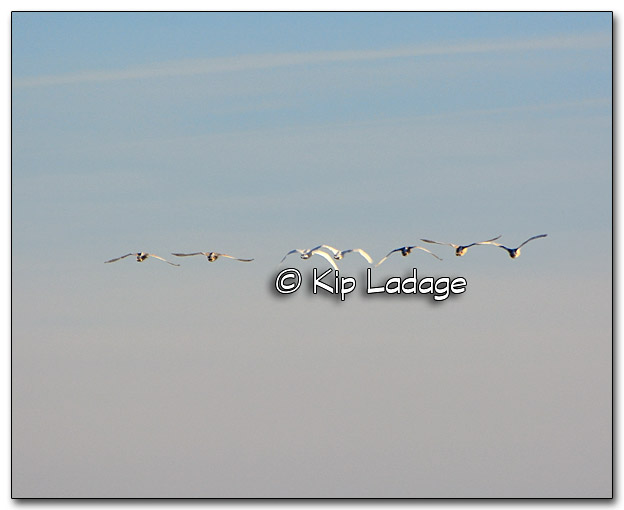 Trumpeter Swans - Image 289391