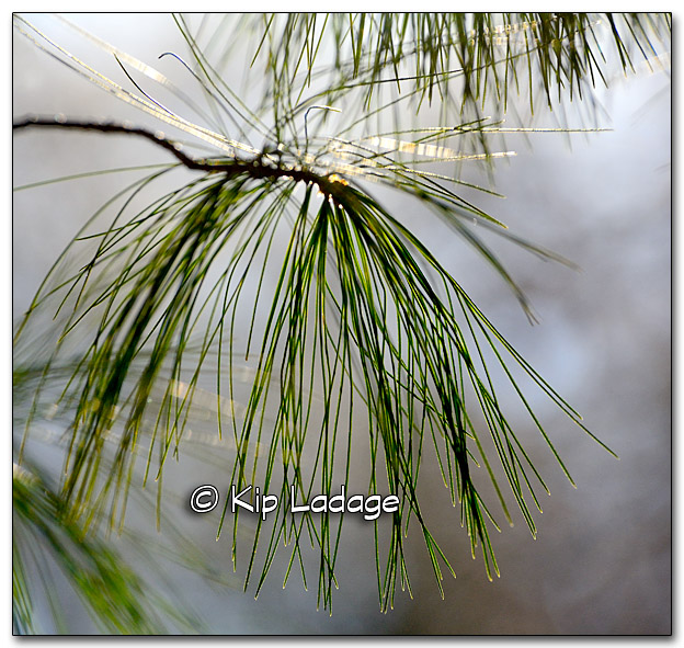 Backlit White Pine Needles - Image 288506