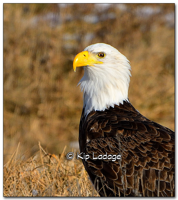 Bald Eagle - Image 289478c