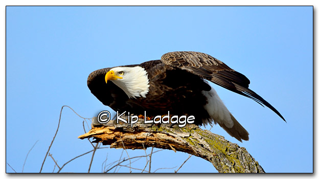 Bald Eagle - Image 291697