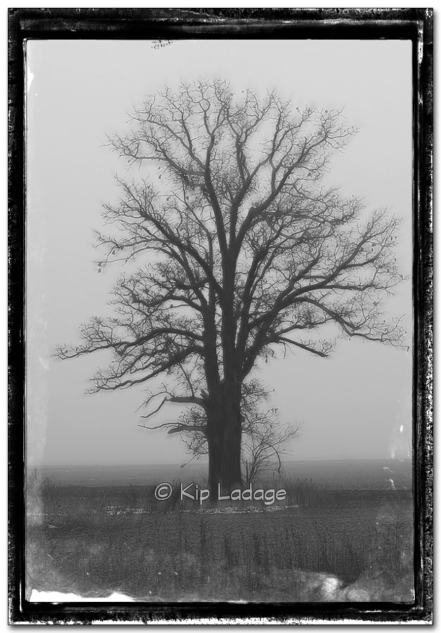 Oak Tree in Fog - Image 290193bwb