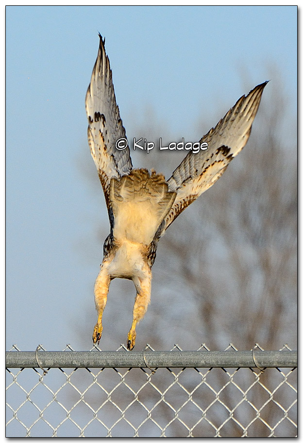 Red-tailed Hawk - Image 290070