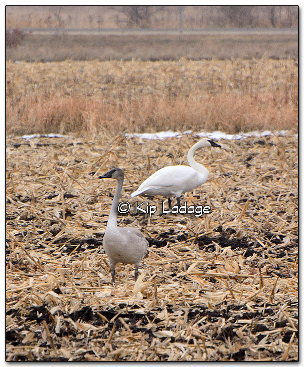 Trumpeter Swans - Image 289703