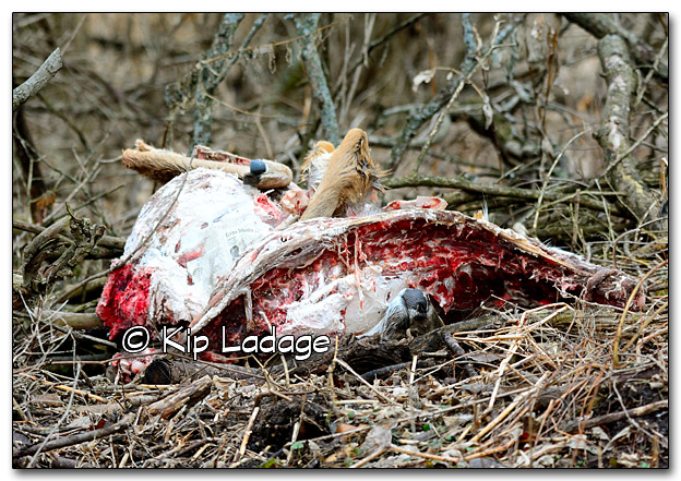 Improperly Disposed of Whitetail Deer Carcass - Image 290627