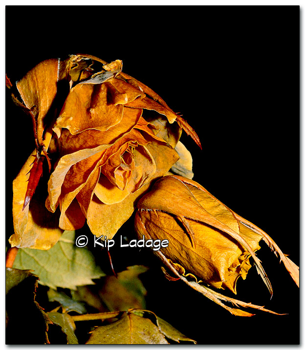 Withered Yellow Rose - Image 290101c