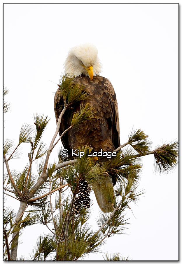 Adult Bald Eagle - Image 293127