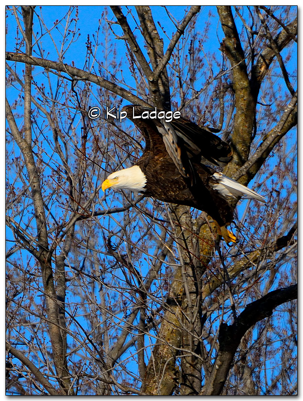 Bald Eagle - Image 294389