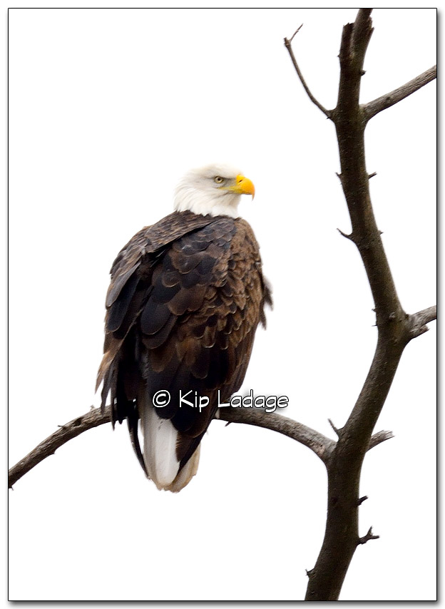Bald Eagle - Image 296575