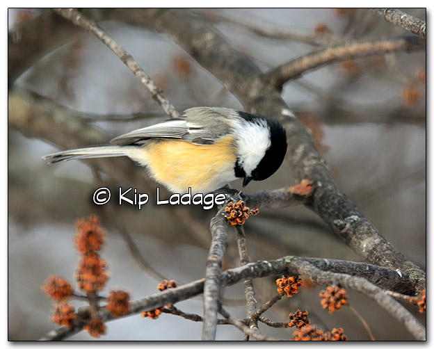 Black-capped Chickadee - Image 294004