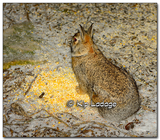 Cottontail Rabbit at Night - Image 295956