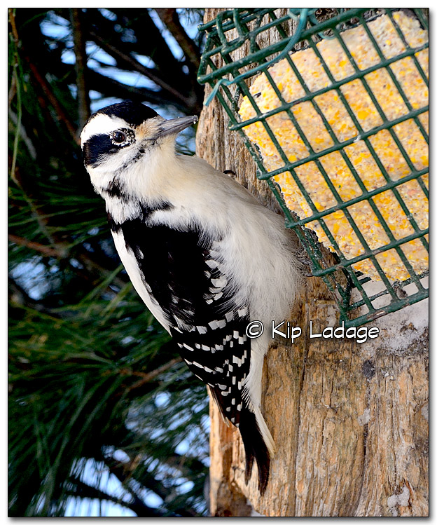 Hairy Woodpecker - Image 293792