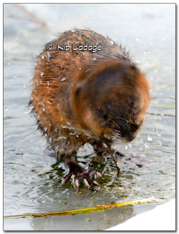 Muskrat on Ice - Image 296042
