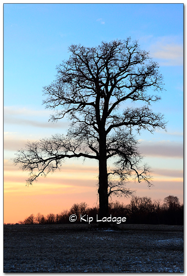 Oak Tree at Sunrise - Image 293564