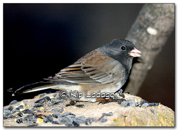 Oregon Junco - Image 296623
