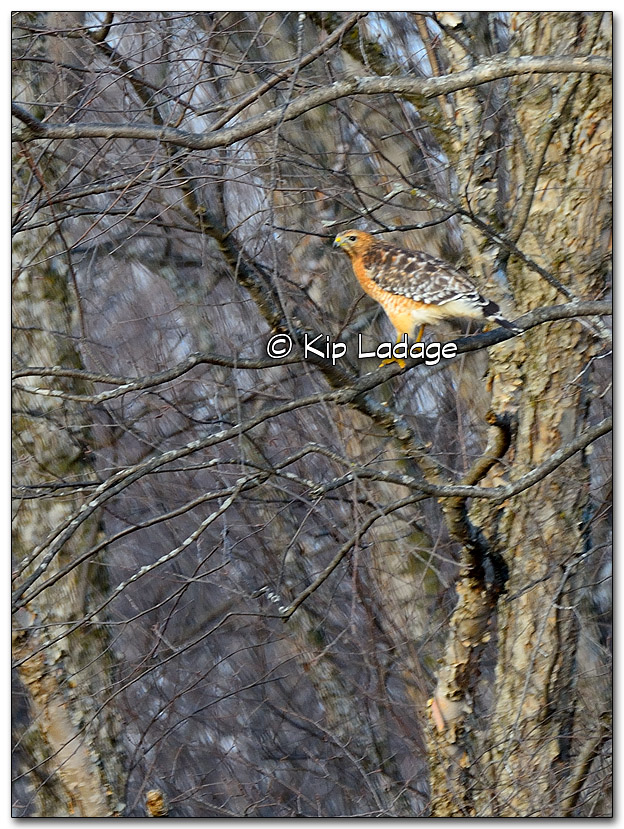 Red-shouldered Hawk - Image 296475