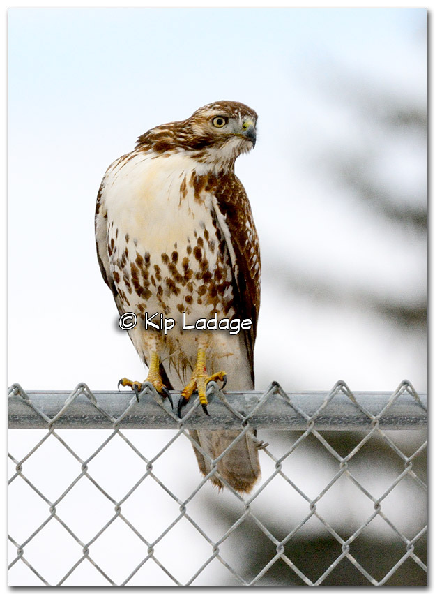 Red-tailed Hawk - Image 295833