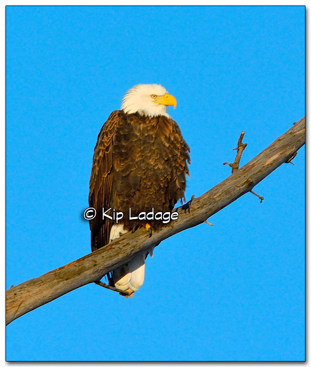 Bald Eagle - Image 292299 -297299