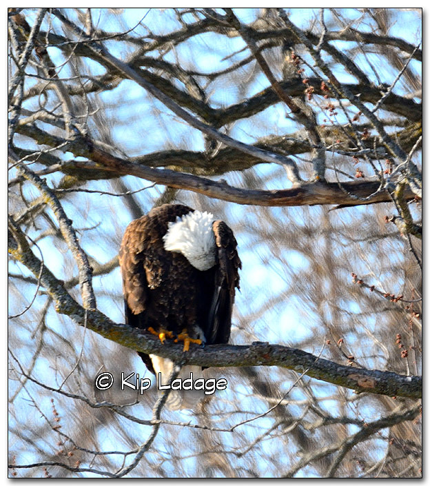 Bald Eagle - Image 297345