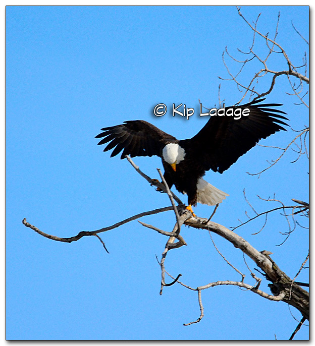 Bald Eagle - Image 298878