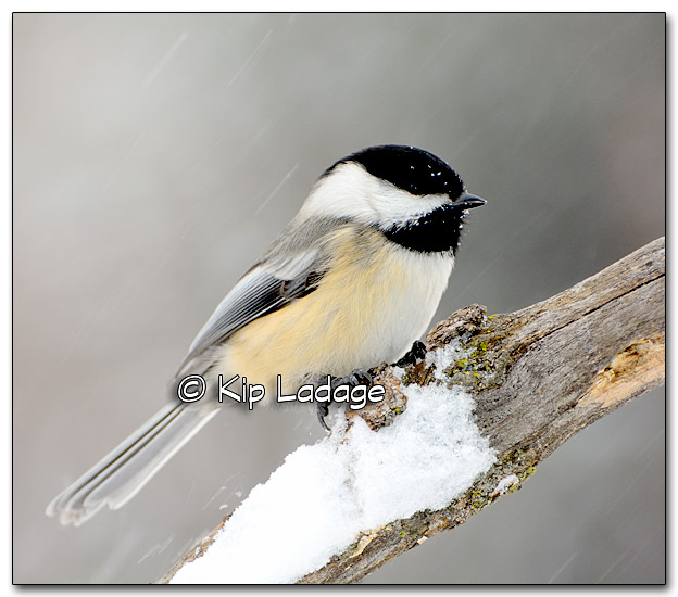Black-capped Chickadee - Image 297213