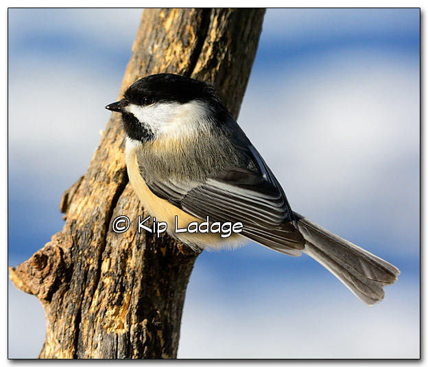 Black-capped Chickadee - Image 300049