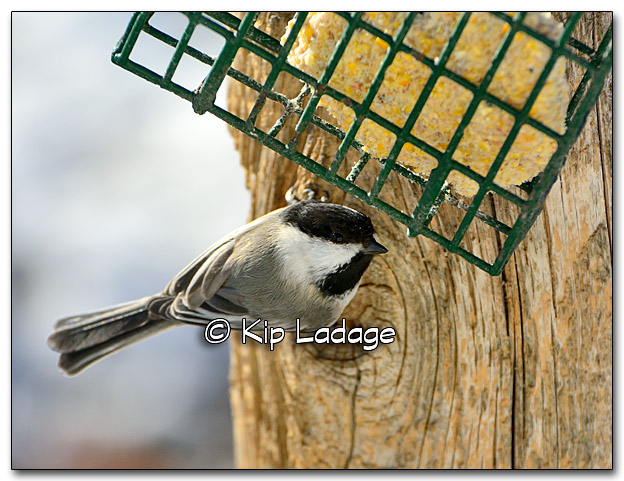 Black-capped Chickadee - Image 300994