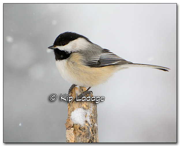 Black-capped Chickadee - Image 301005