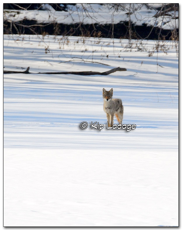 Coyote on Cedar River - Image 297947