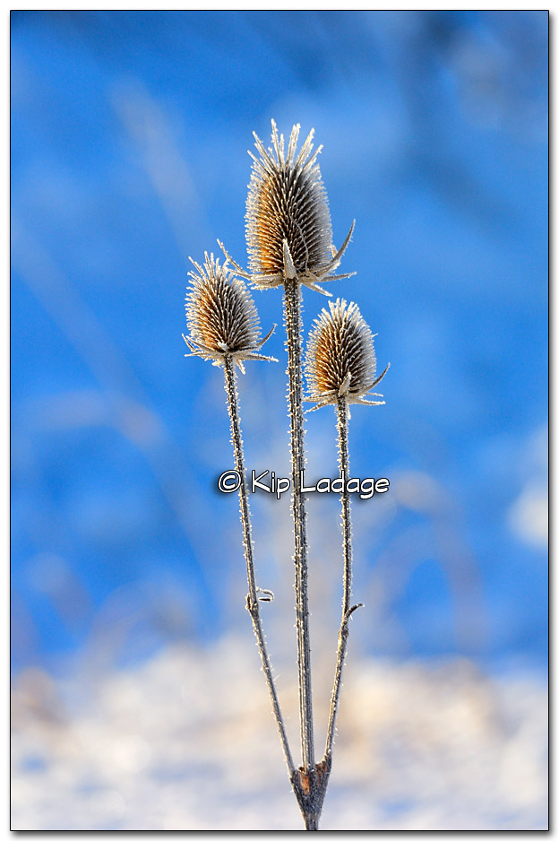 Frost-covered Teasel - Image 297395