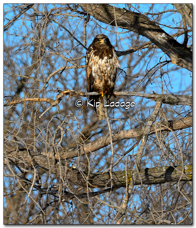 Juvenile Bald Eagle - Image 300587