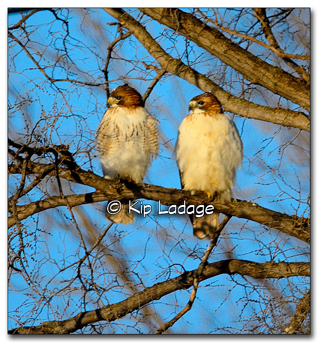 Red-tailed Hawks - Image 300670