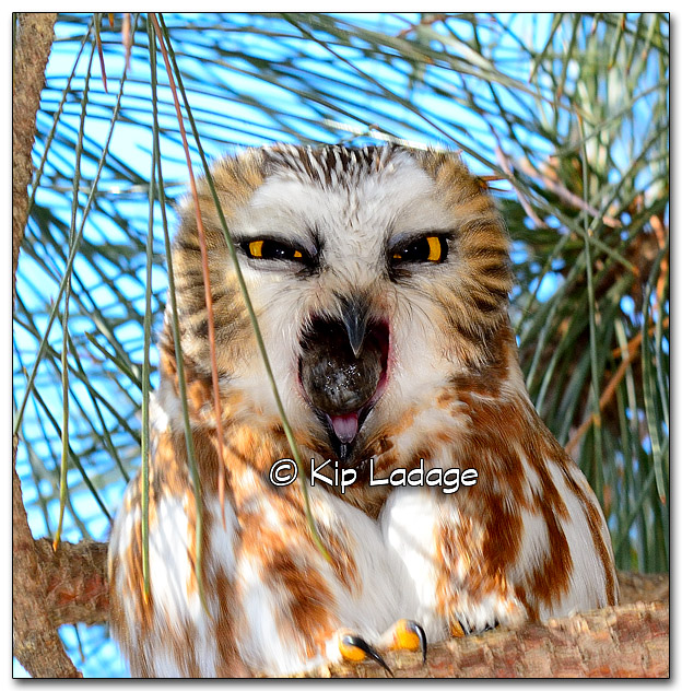 Saw-whet Owl Producing Owl Pellet - Image 299163