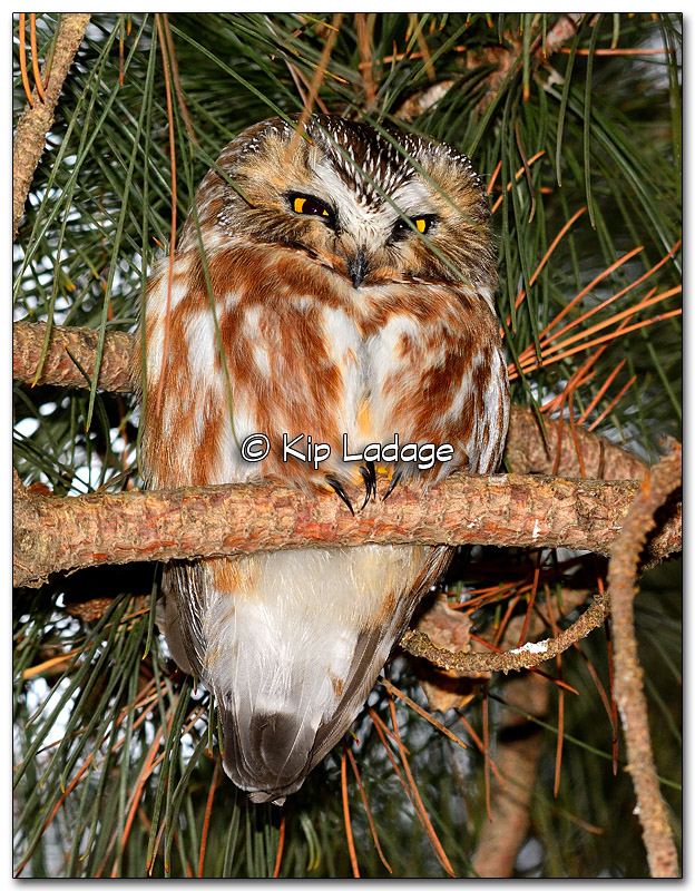 Northern Saw-whet Owl - Image 300846