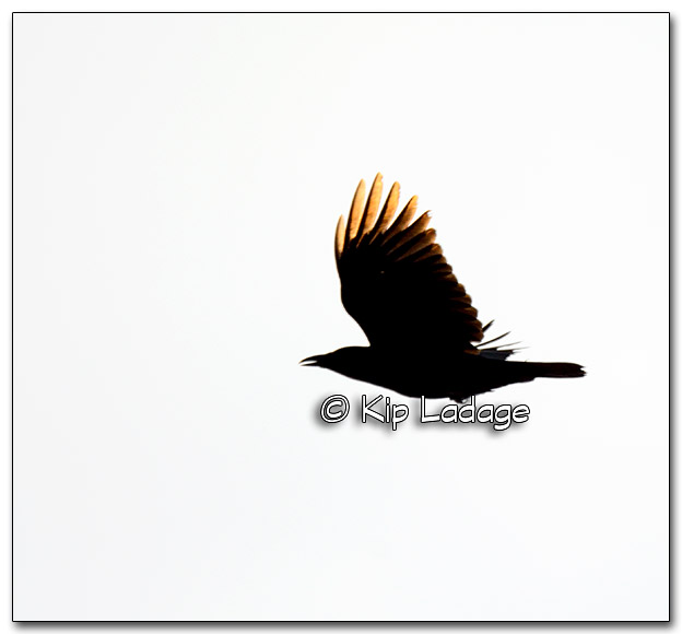 American Crow - Image 302356