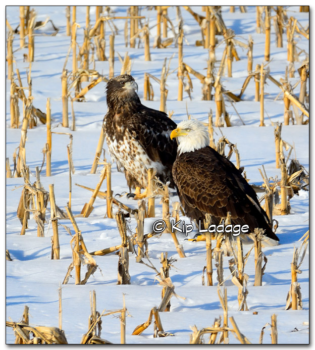 Adult and Juvenile Bald Eagles - Image 301529