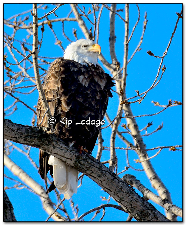 Bald Eagle - Image 301909