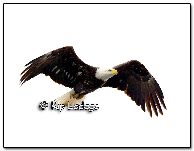 Adult Bald Eagle - Image 305348