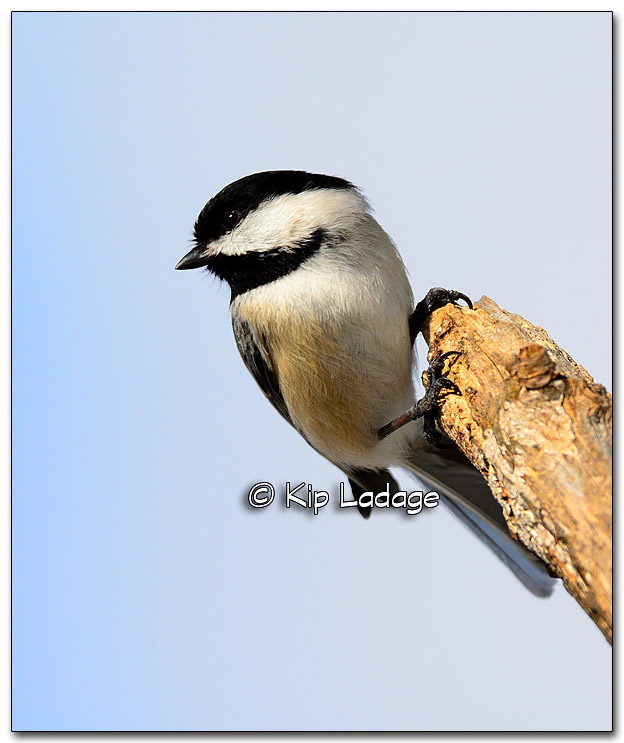 Black-capped Chickadee - Image 301964